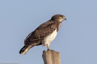 Black-chested-Snake-Eagle.jpg