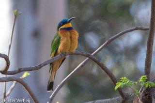 Blue-breasted-Bee-eater.jpg