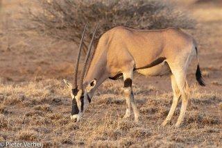 Common-Beisa-Oryx.jpg
