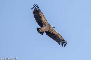 Griffon-Vulture.jpg