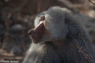 Hamadryas-x-Olive-Baboon.jpg