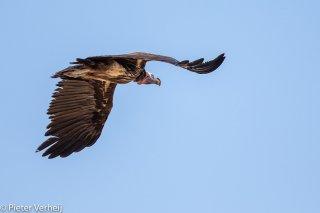 Lappet-faced-Vulture.jpg