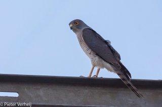 Little-Sparrowhawk.jpg