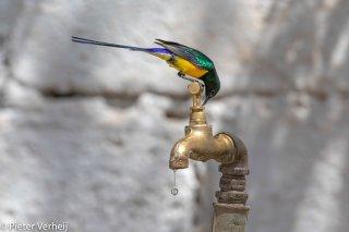 Nile-Valley-Sunbird.jpg