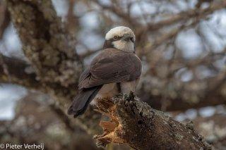 Northern-White-crowned-Shrike.jpg