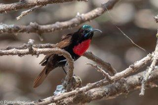 Scarlet-chested-Sunbird.jpg