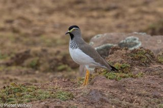 Spot-breasted-Lapwing.jpg