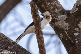 White-crested-Helmetshrike.jpg