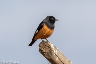 White-winged-Cliff-Chat.jpg