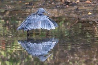 Black-Heron.jpg