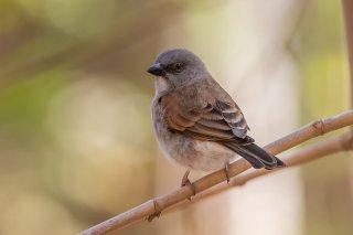 Grey-headed-Sparrow.jpg