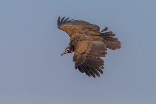 Hooded-Vulture.jpg