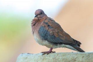Laughing-Dove.jpg