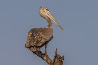 Pink-backed-Pelican.jpg