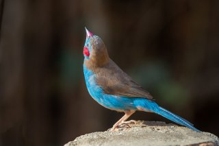Red-cheeked-Cordon-bleu.jpg