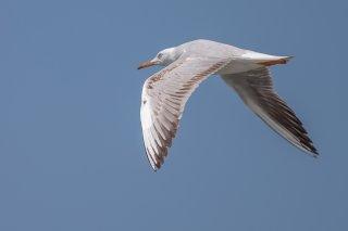 Slender-billed-Gull.jpg