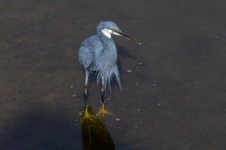 Western-Reef-Heron.jpg