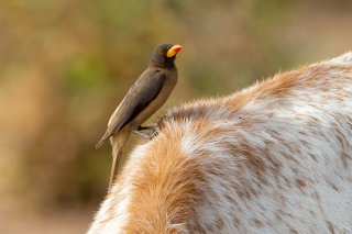 Yellow-billed-Oxpecker.jpg