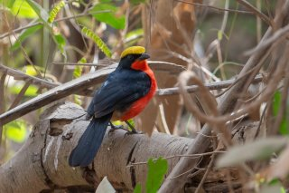 Yellow-crowned-Gonolek.jpg
