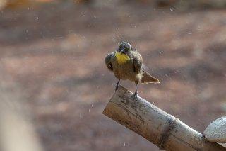 Yellow-throated-Leaflove.jpg