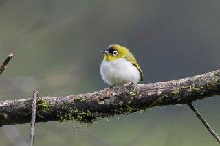 Black-crowned-White-eye.jpg
