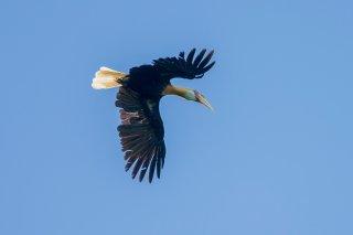 Blyth's-Hornbill.jpg