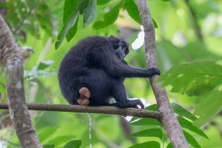 Celebes-Crested-Macaque.jpg