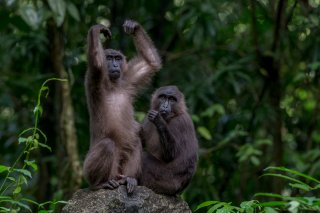Celebes-Crested-Macaque2.jpg