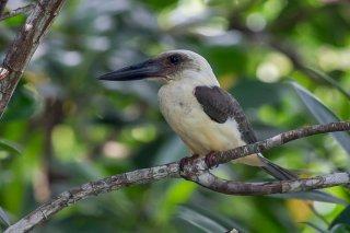 Great-billed-Kingfisher.jpg