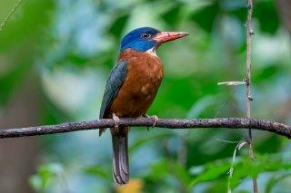 Green-backed-Kingfisher.jpg
