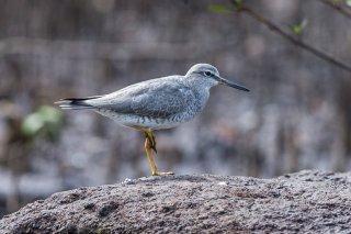 Grey-tailed-Tattler.jpg