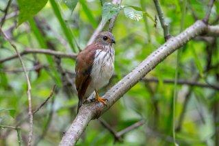 Spot-tailed-Sparrowhawk-(j).jpg
