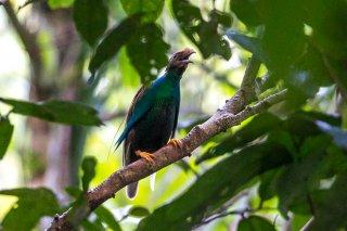 Standard-winged-Bird-of-Paradise.jpg