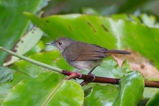 Sulawesi-Babbler.jpg