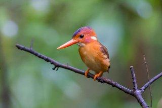 Sulawesi-Dwarf-kingfisher.jpg