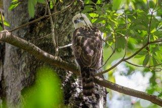 Sulawesi-Hawk-Eagle2-(j).jpg