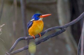 Variable-Dwarf-kingfisher.jpg