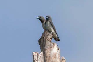 White-breasted-Woodswallow.jpg