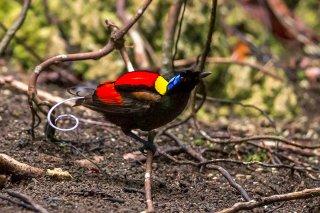 Wilson's-Bird-of-Paradise.jpg