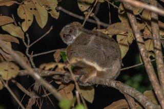 Eastern_Woolly_Lemur.jpg