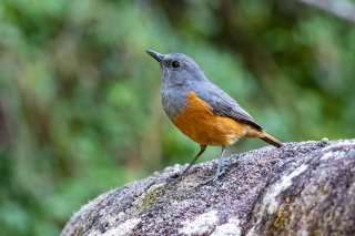 Forest_Rock_Thrush.jpg