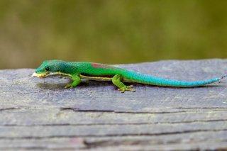Giant_Day_Gecko.jpg