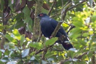 Madagascar_Blue_Pigeon.jpg