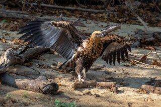 Madagascar_Fish_Eagle_j.jpg