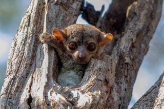 Milne-Edwards_Sportive_Lemur.jpg