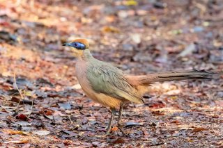Red-capped_Coua.jpg