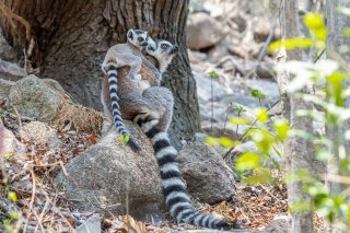 Ring-tailed_Lemur.jpg