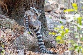 Ring-tailed_Lemur.jpg