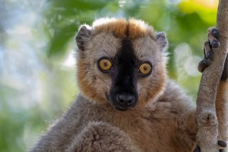 Rufous_Brown_Lemur.jpg