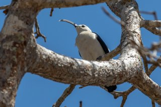 Sickle-billed_Vanga.jpg